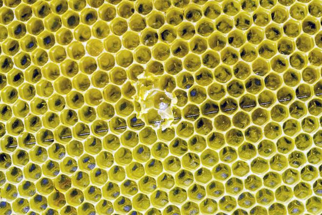 Detalle de ovos nun cadro recén estirado. Larvas na parte superior dereita