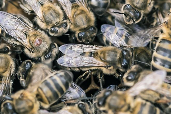 Detalle dunha varroa sobre unha abella obreira