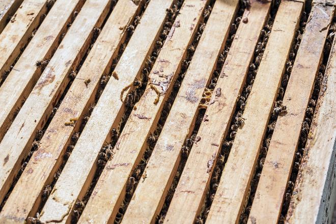 Forza da colonia por conteo de cadros ocupados por abellas