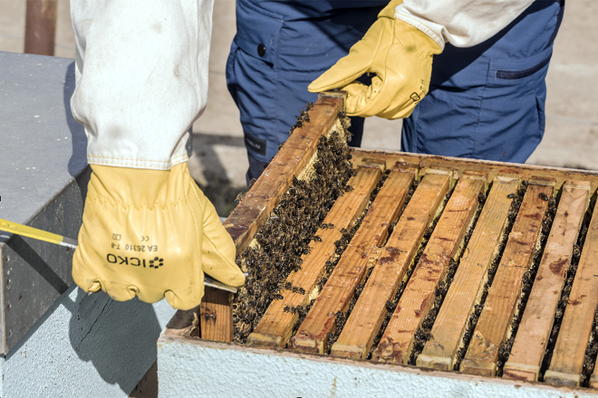 Retirada de orillero con movimentos suaves para evitar a morte de abellas