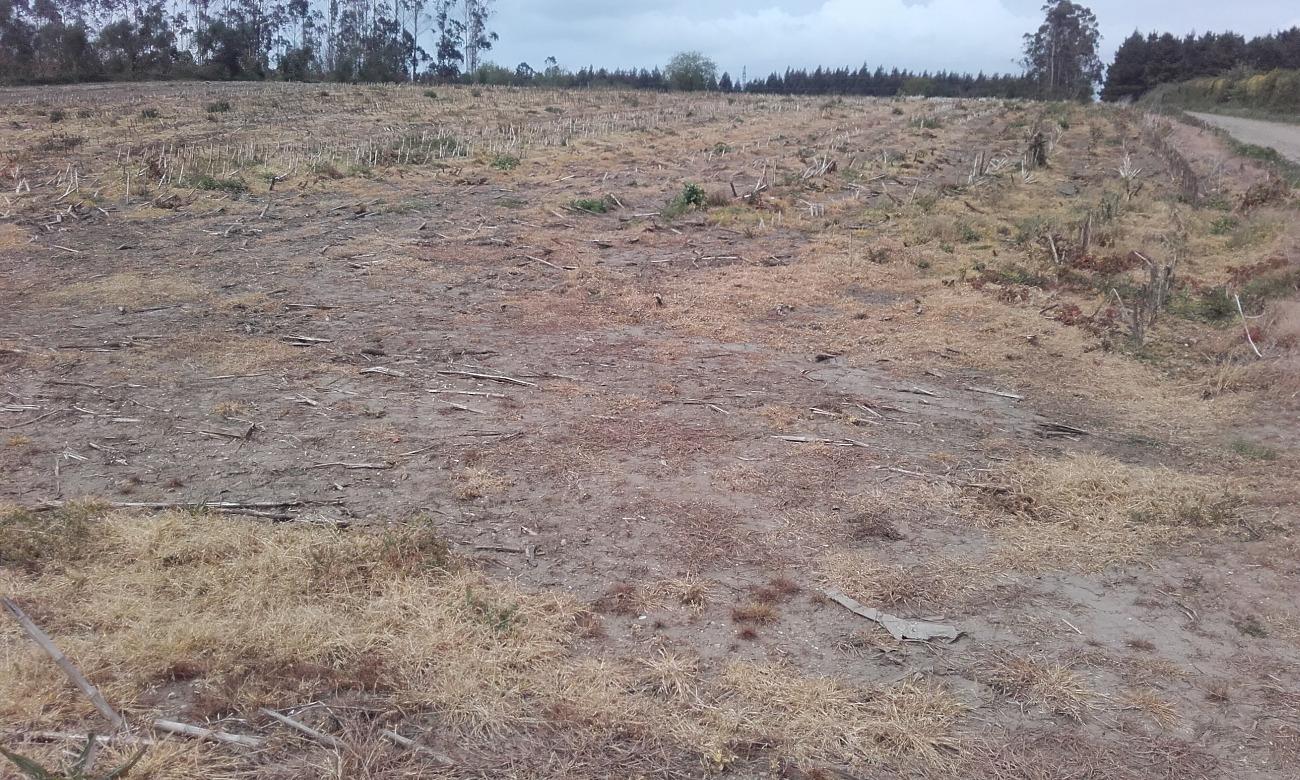 Leira sen cultivar no inverno despois de millo, queimada en abril con herbicida total para poder sementar millo de novo.