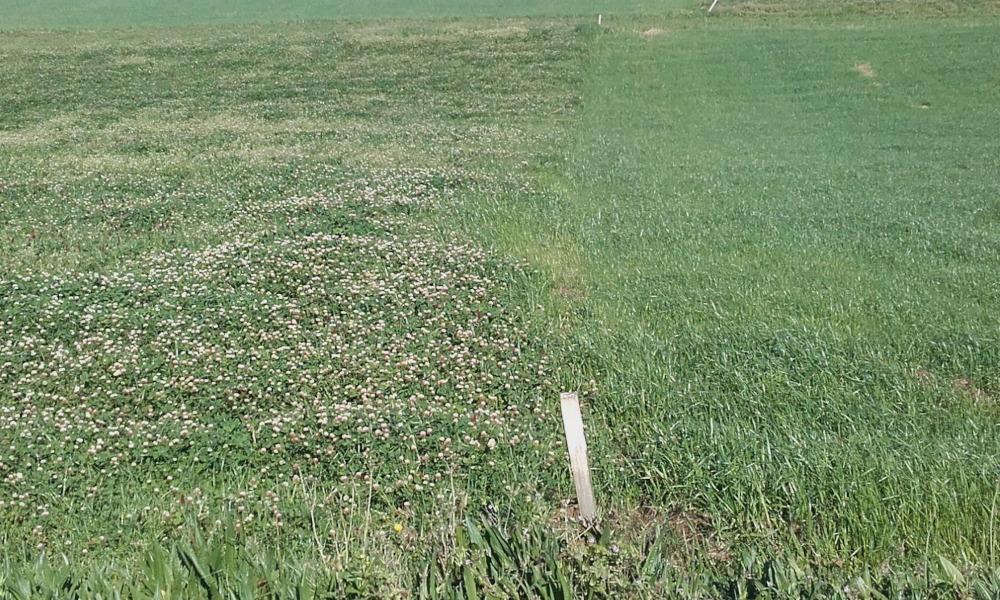Parcelas sementadas con cultivo de inverno despois de millo. Á esquerda mestura de raigrass híbrido, con 3 leguminosas anuais e á dereita raigras italiano alternativo donde xa se deu un corte e foi fertilizada para o segundo. Foto: CIAM