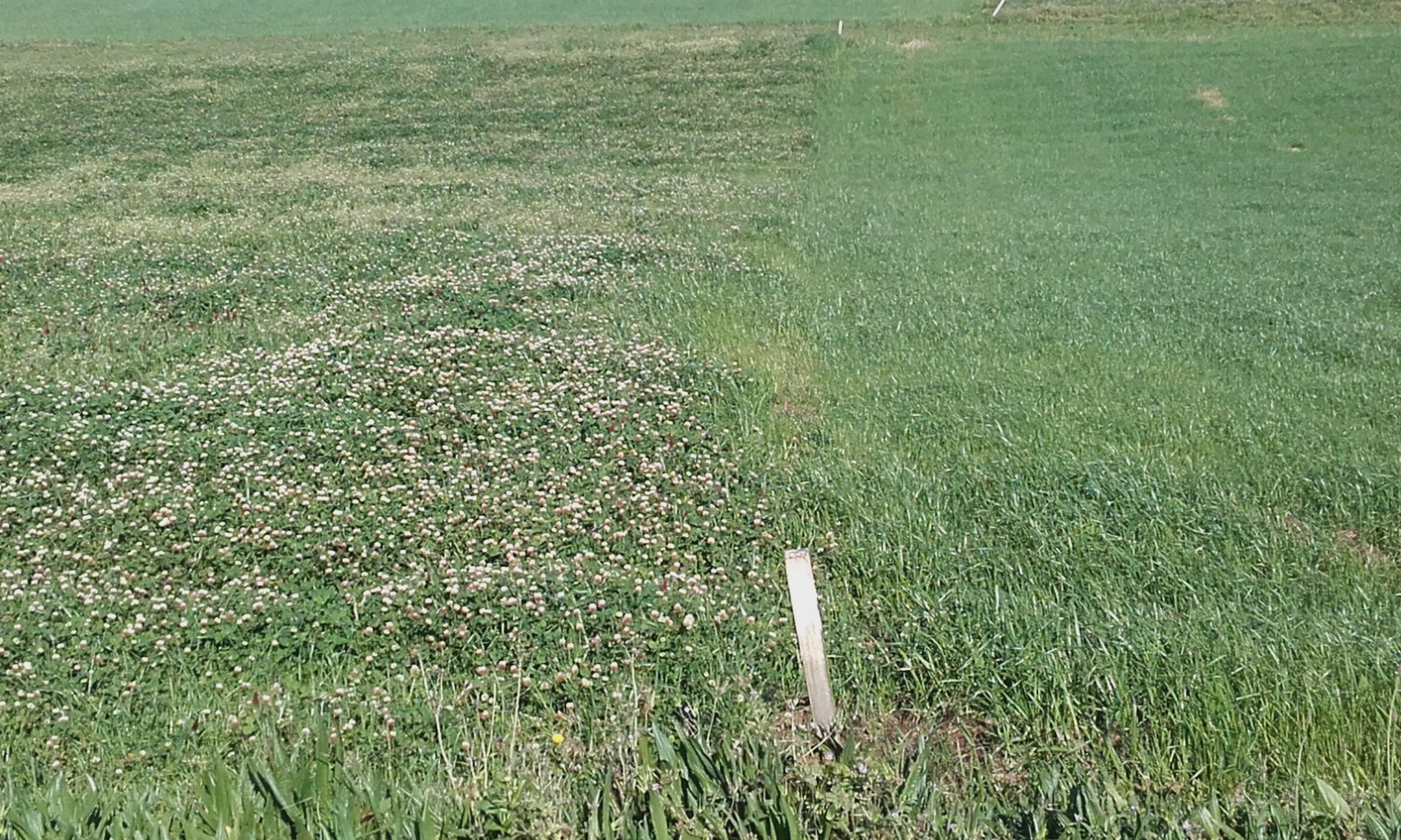 Parcelas sembradas con cultivo de invierno después de maíz. A la izquierda mezcla de raigrass híbrido, con 3 leguminosas anuales y a la derecha  raigras italiano alternativo donde ya se dio un corte y fue fertilizada para el segundo.
