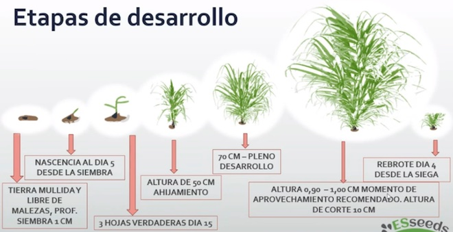 Grafico crecimiento pasto Siambasa