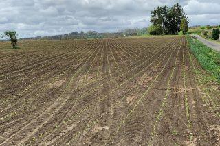 Recomendacións para as sementeiras temperás de millo
