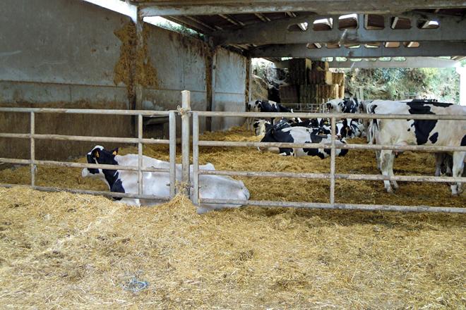 Lote de postparto, onde teñen as vacas durante o primeiro mes da lactación