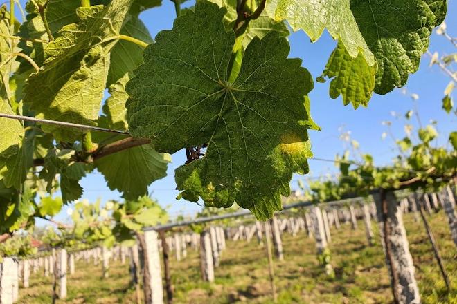 Mildio: Recomendan empezar a vixiar as viñas