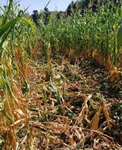 Danos provocados polo xabarín nunha das fincas de millo de SAT Seixas