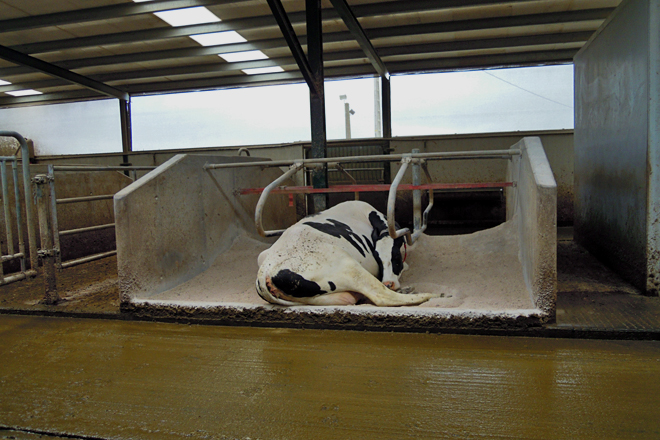 Unha vaca na zona de separación, con capacidade para seis animais