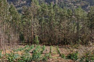 A inminente moratoria do eucalipto desencadea un efecto boomerang de plantacións