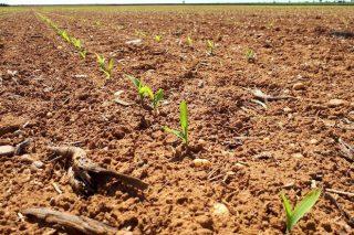 Claves para unha boa xerminación das sementes de millo