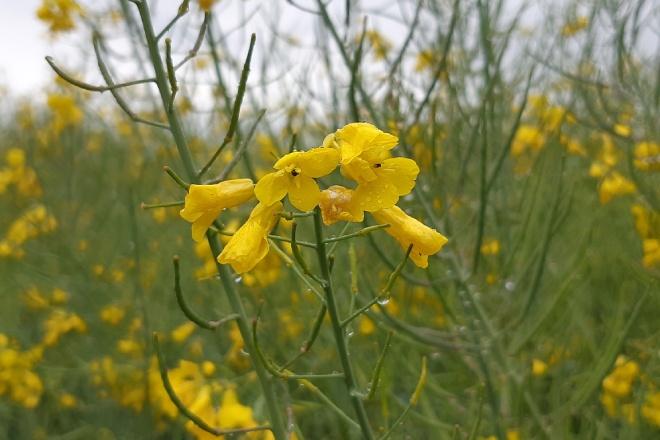 A colza, un cultivo que agroma en Galicia