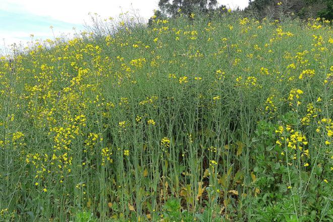 Cultivo de colza en estado avanzado