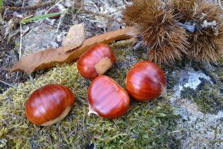 Curso sobre plantacións de castiñeiros de froito en Moeche