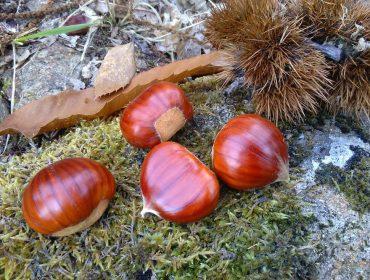 Curso na Cañiza sobre cultivo do castiñeiro para castaña