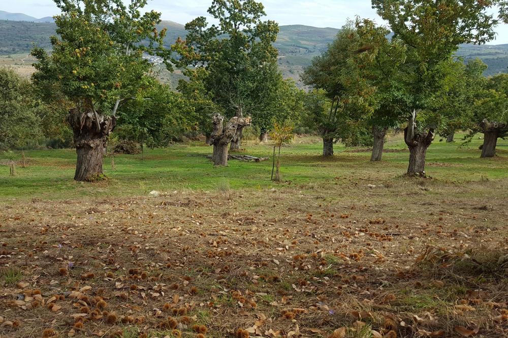 Un dos soutos con castiñeiros centenarios recuperados por Amarelante