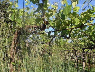 Aconsellan renovar os tratamentos contra o mildio na viña e controlar a herba