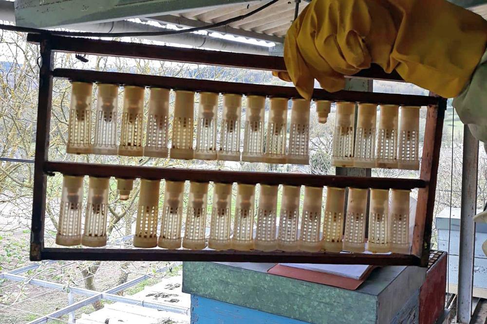 Cría de raíñas para facer núcleos para repoñer baixas e vender a outros apicultores