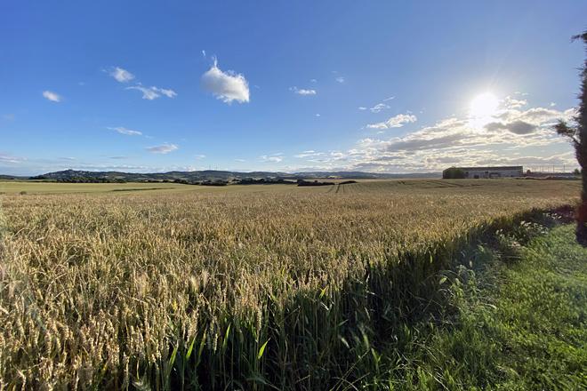 Un dos campos de cereal que cultivan. En total traballan 220 hectáreas nas que botan trigo, cebada, avea e leguminosas