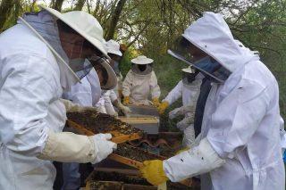 Selección xenética da abella galega, colmeas máis resistentes a enfermidades, produtivas e mansas