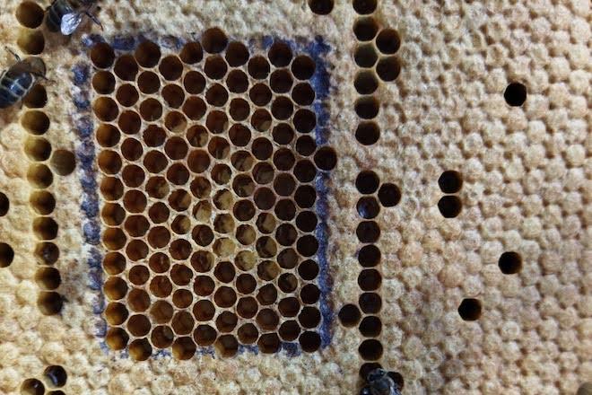 Avalían a capacidade de limpeza da colmea, xa que é unha vantaxe ante enfermidades como a varroase.