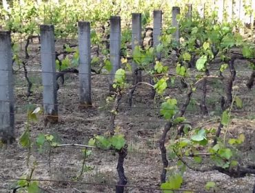 A Fruga recibe múltiples queixas por danos de corzos en viñedos