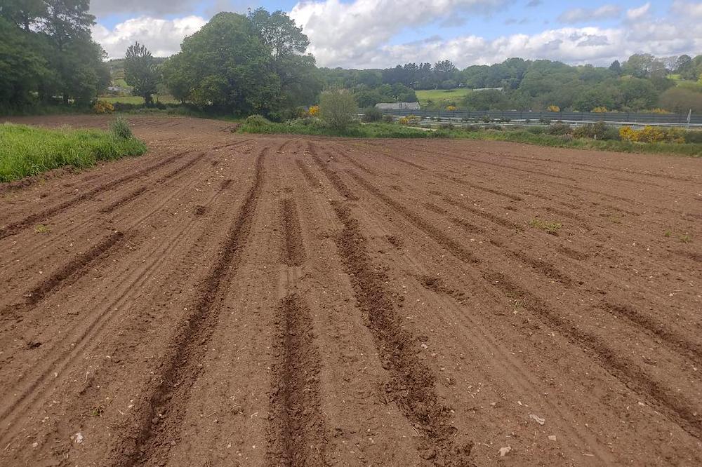 Danos provocados polos xabaríns en terras labradas estes días con millo na zona de Palas de Rei