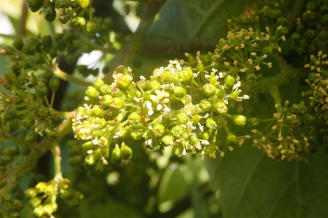 Areeiro aconsella revisar as viñas e renovar tratamentos ante síntomas de mildio