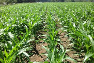 Monsoon Active:  novo herbicida de Bayer para o cultivo de millo