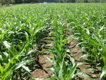 Coragen® 20SC: O insecticida líder na protección do millo e da pataca