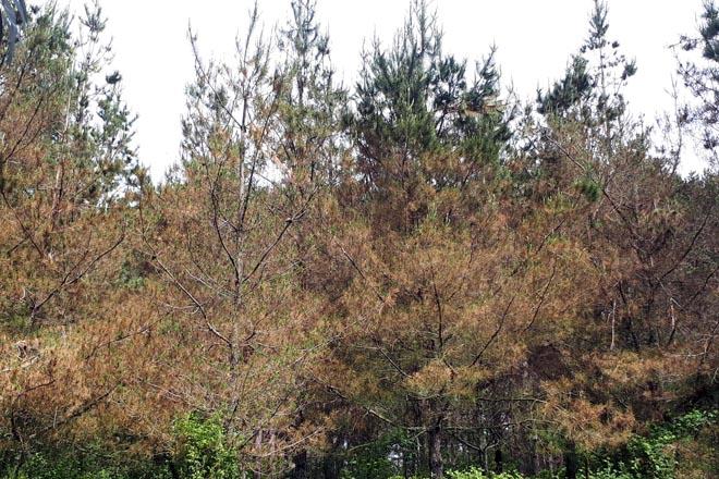 Plantación nova de piñeiro insigne afectada pola banda marrón.