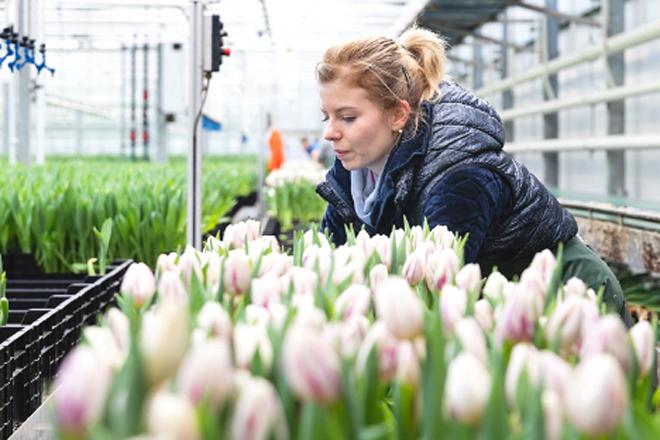 Una productora de tulipanes de los Países Bajos que suministra a la empresa catalana