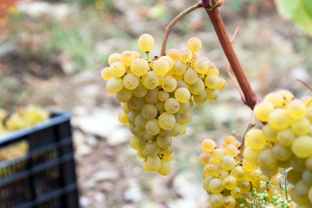 A variedade branca lexítima destaca na elaboración de viños brancos nesta zona