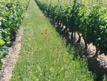 Que especies empregar para ter cubertas vexetais no viñedo?