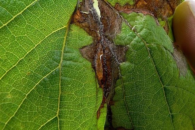 Recomendan protexer as viñas contra a botrite tralos danos das fortes choivas