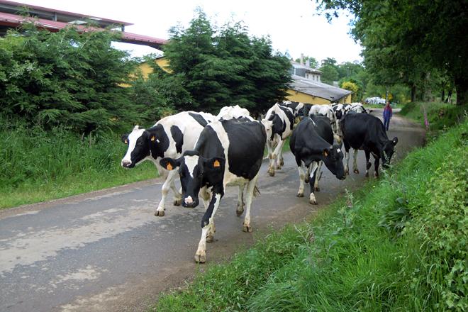 As vacas de Gandería Zapateiro camiño do pasto. Trala concentración, terán que andar menos
