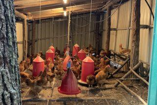 Investigan sobre o aporte do bagazo de cervexa na alimentación de polos