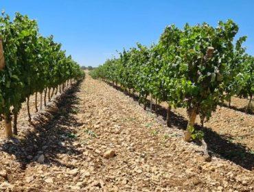 'Septum', unha alternativa eficaz para reducir o uso de cobre no control de mildio en viña