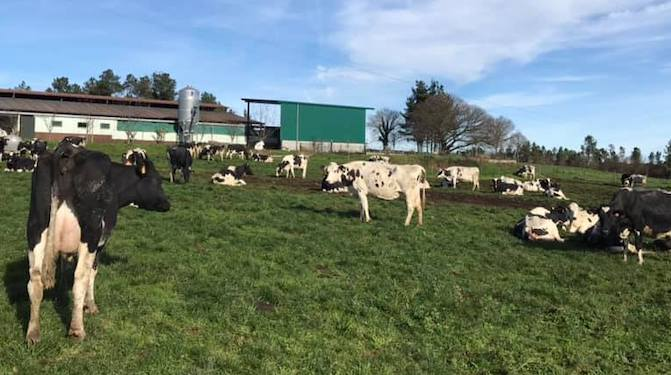 Vacas ganderia Roman Santalla