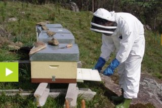 Como evitar os ataques do oso aos apiarios