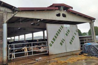Gandería de leite de Ordes ofrece posto de traballo estable