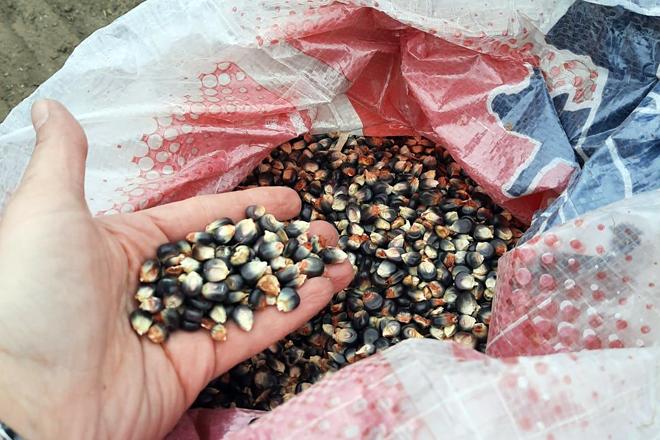 Semente de millo corvo, que destaca pola cor escura do gran
