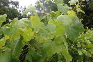Areeiro recomenda vixiar as viñas para frear posibles focos incontrolados de mildio