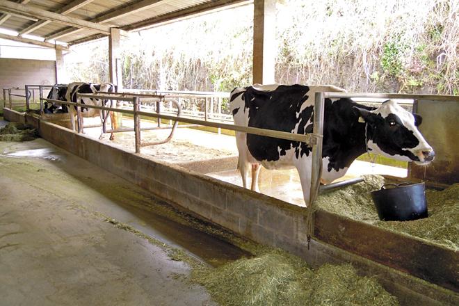 Zona de cubículos individuais con capacidade para seis animais onde se atopan as vacas de concurso