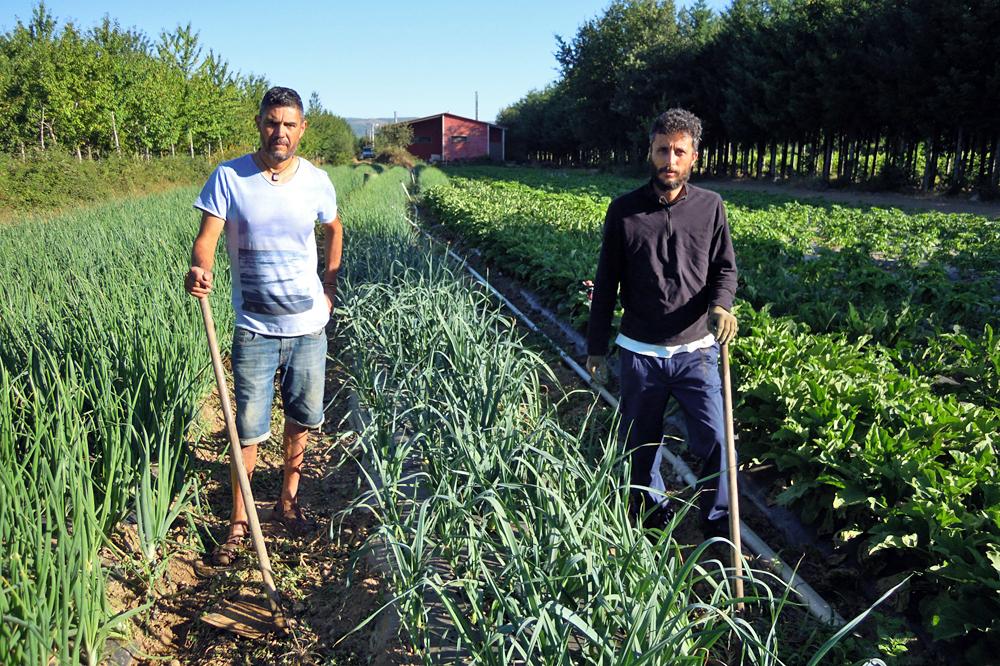 Juan y Manolo trabajando en la finca donde tienen plantadas las cebollas