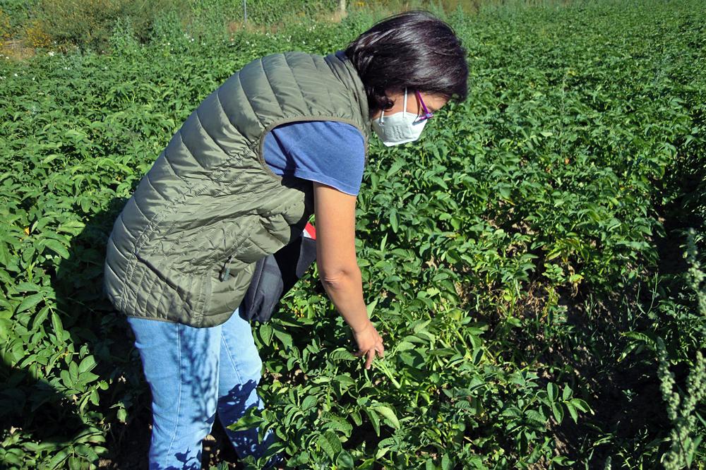 Marta revisando unha finca labrada con patacas para analizar o estado do cultivo