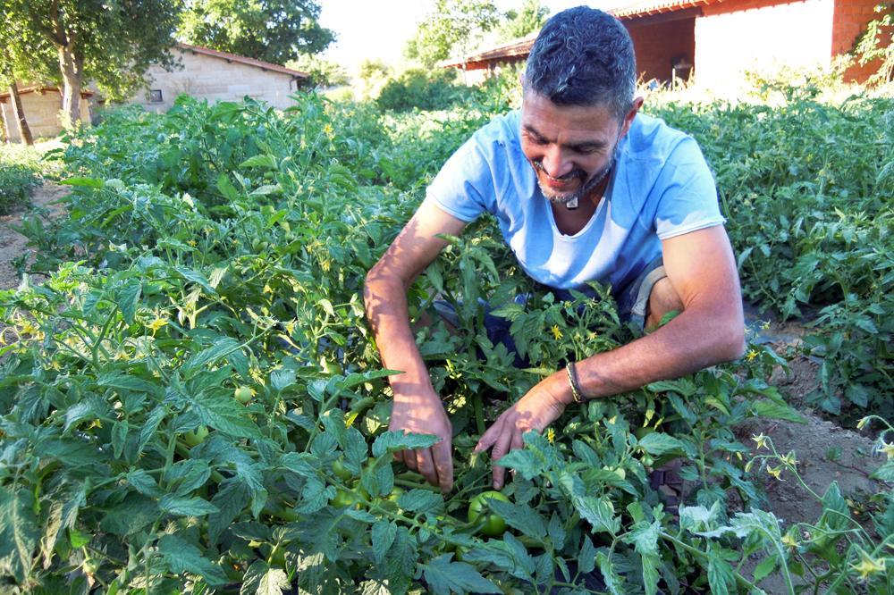 Botan distintas variedades de tomate destinados sobre todo a conserva natural ecolóxica