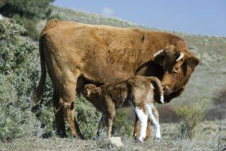 De Heus lanza un novo programa nutricional para optimizar o ciclo reprodutivo das vacas nutrices