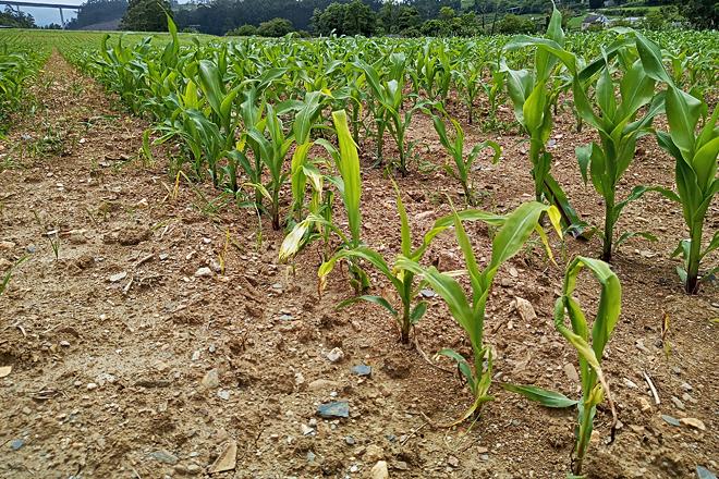 Plantas amarillentas polo efecto do frío e o exceso de humidade