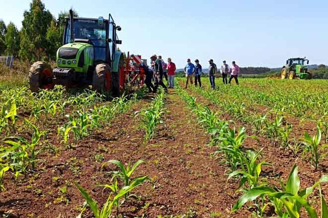 escardado millo ecoloxico 2